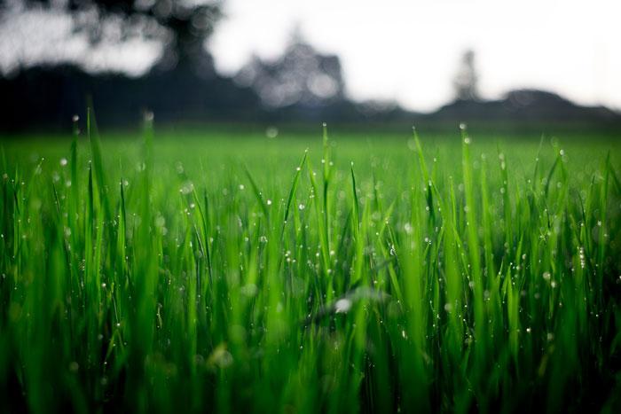 Lawn garden grass